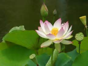 Lotus Flower Om The Significance Of The Lotus Flower And Some Of It S