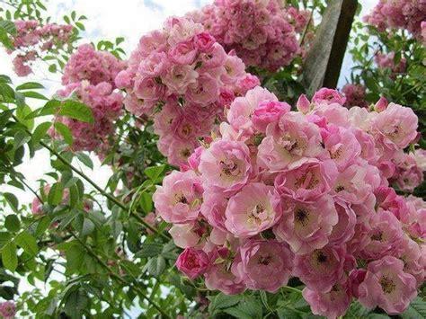 fiori a cespuglio a cespuglio