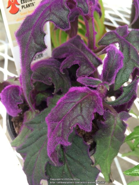 photo of the leaves of purple velvet plant gynura aurantiaca purple passion posted by