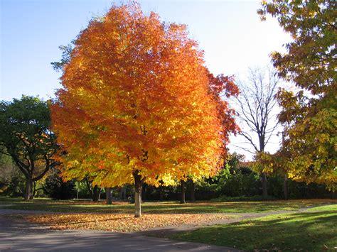 maple tree environment omeka ctl uvm tree profiles maple invasive species