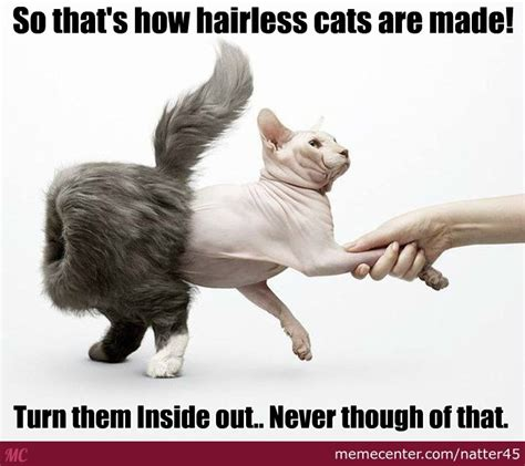 Hairless Bear Meme - hairless meme 28 images hairless cat meme catastrophe