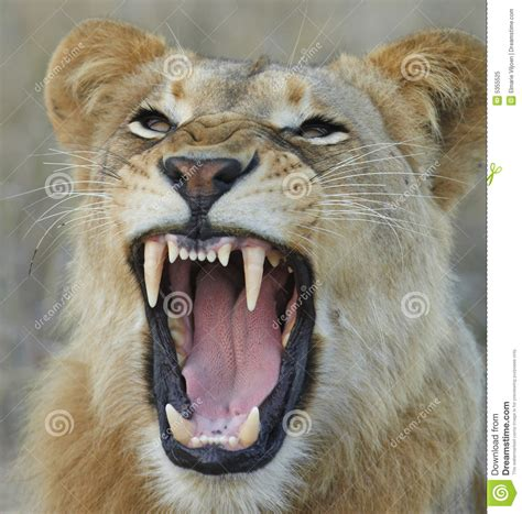 showing teeth lioness showing teeth royalty free stock photo image 5355525