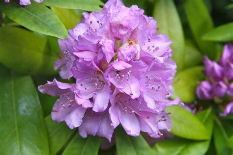 wann schneidet rhododendron rhododendron schneiden rhododendron schneiden anleitung