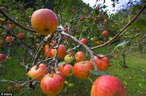 apple england apples are top of the crops perfect growing conditions