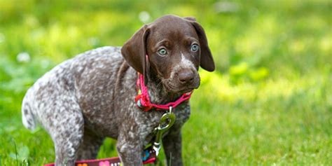Do Pointers Shed by German Shorthaired Pointer Dogs And Puppies Breeds