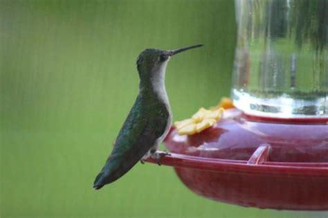 ruby throated hummingbird 9 13 2014