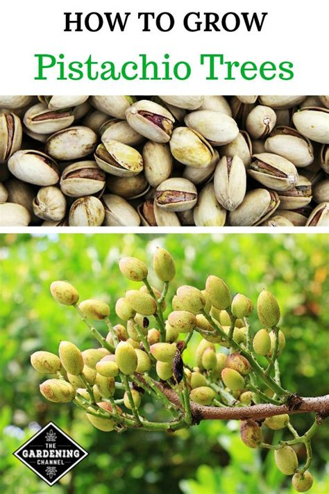 grow   pistachio trees pistachio tree home