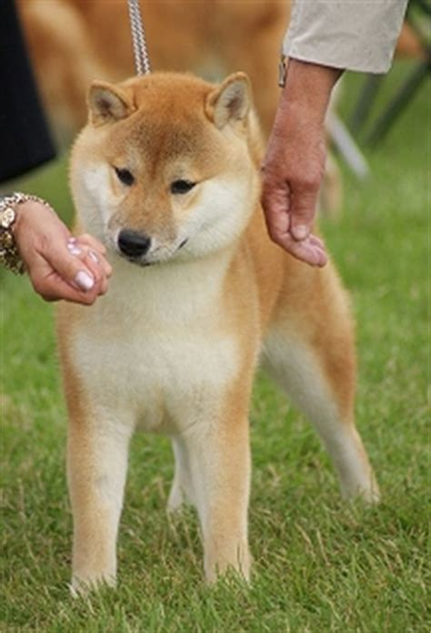 shiba inu vs golden retriever related keywords suggestions for miniature akita