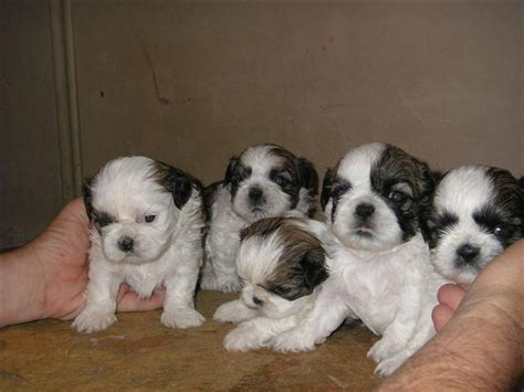miniature shih tzu puppies for sale in alabama shih tzu puppies ready clasf