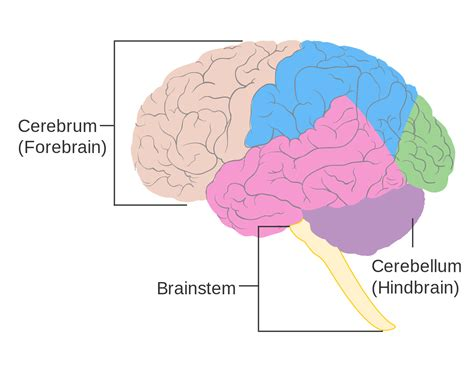 three main sections of the brain file diagram showing some of the main areas of the brain