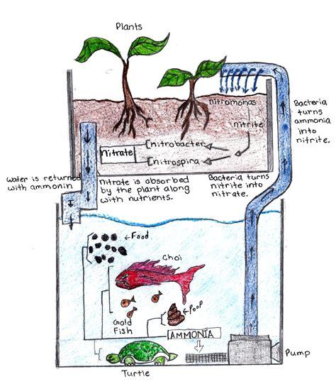 aquaponics diagram aquaponics diagram ecosystems