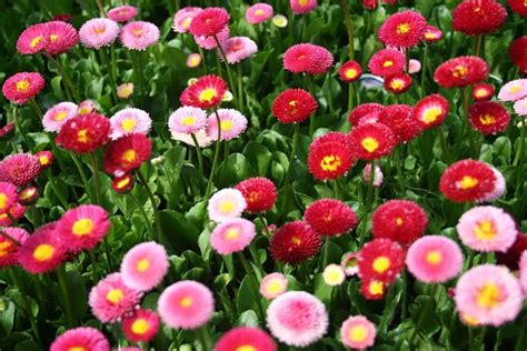 fiore margherita fiori margherita fiori di piante caratteristiche della