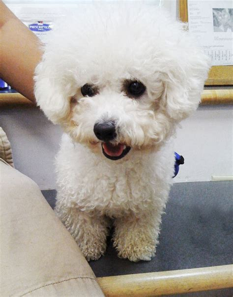 bichon poodle rescue indiana best 25 cavapoo rescue ideas on adorable