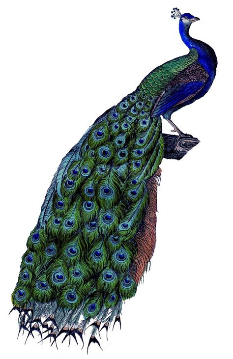 colourful peacock drawing clipart best