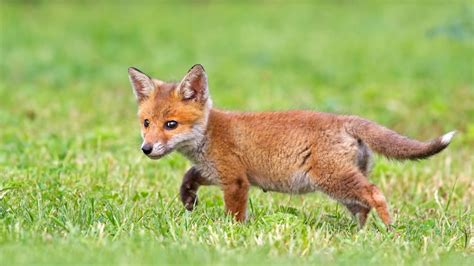 baby fox wallpapers baby animals