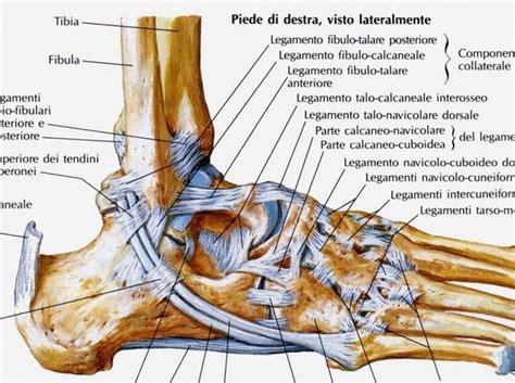dolore caviglia interna ecografia della caviglia econotes