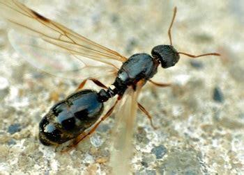 flying ant  termites studycom