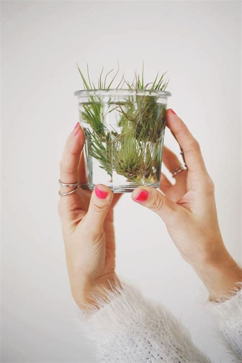 how to care for air plants i am growing pinterest plants and air plants