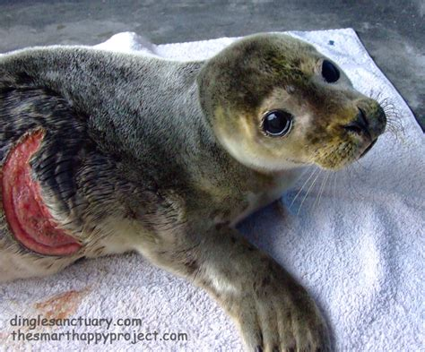 baby seal pup grey seal and harbour seal the smart happy project