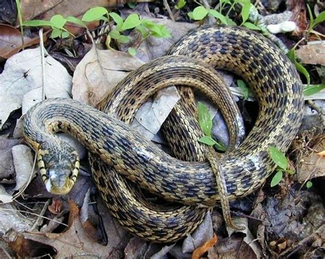 Garter Snake Deck Herpetology Biology 4830 With Combs At Tennessee