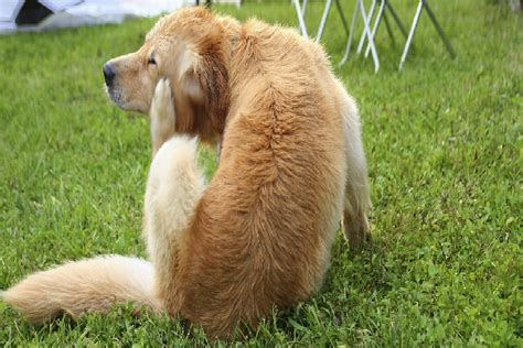 allergies in golden retrievers flea bites on dogs golden retriever dogs and puppies