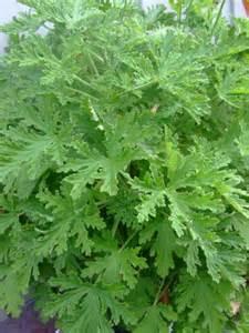 pelargonium citrosum citrosa geranium mosquito plant