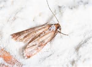 got pantry moths get rid of the infestation naturally