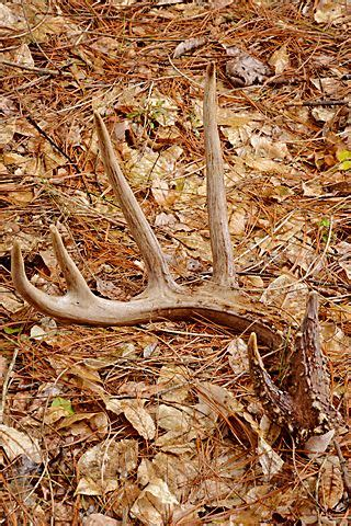 17 images about shed on deer