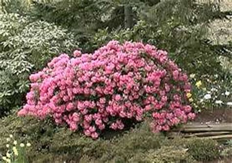 transplanting rhododendrons and azaleas