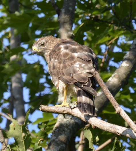 what s this wide winged hawk with the dark head and neck