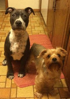 yorkie pitbull keep calm and a pitbull on yorkie selfie and dogs