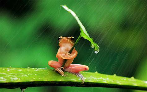 green frog umbrella leaf hiding  rain wallpaper
