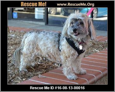 havanese rescue los angeles california havanese rescue adoptions rescueme org