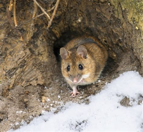 Mice Living In by Top Ten Ways Animals Survive The Winter Earth Rangers
