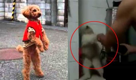 walking on hind legs walking on hind legs go viral here is why you should not it