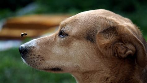 anaphylactic shock in dogs anaphylaxis in dogs symptoms causes and treatments dogtime