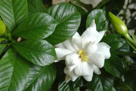 5 big and beautiful indoor plants flower power how to kill a gardenia hgtv
