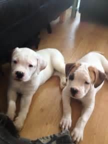 American bulldog puppies for sale in london london east london