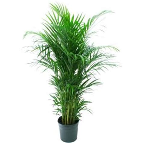 delray plants 9 1 4 in areca palm in pot 10areca the