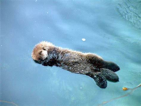 sleeping baby sea otter how cute is that pinterest