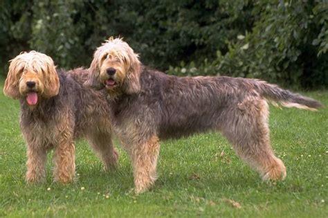 otterhound puppies otterhound