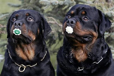 rottweiler aggressive breed national puppy day 15 photos of the top breeds in america
