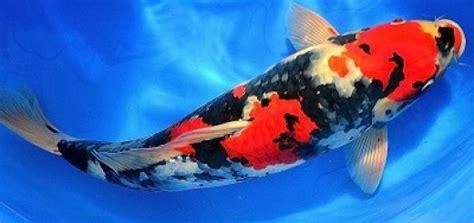 Harga Bibit Ikan Koi Import budidaya ikan koi untuk pemula