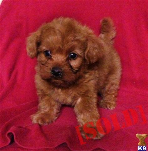 maltipoo puppies for sale in teacup maltipoo www imgkid the image kid has it