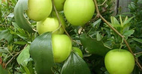 dlaman hijau nursery epal bidara