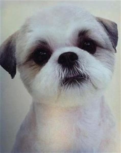 should you shave a shih poo beard or leave it long image gallery shaved shih poo