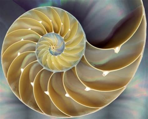nautilus pattern nature fibonacci s golden spiral the relationship between maths