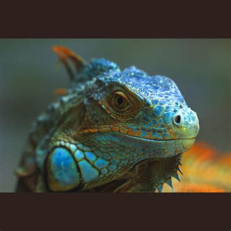 Jual Dipong Murah Kaskus hewan terlangka2016 iguana blue images
