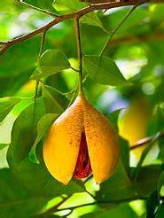 grow nutmeg growing planting  harvesting