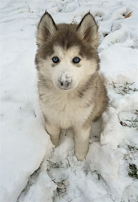 snow husky puppy puppies how to choose care and